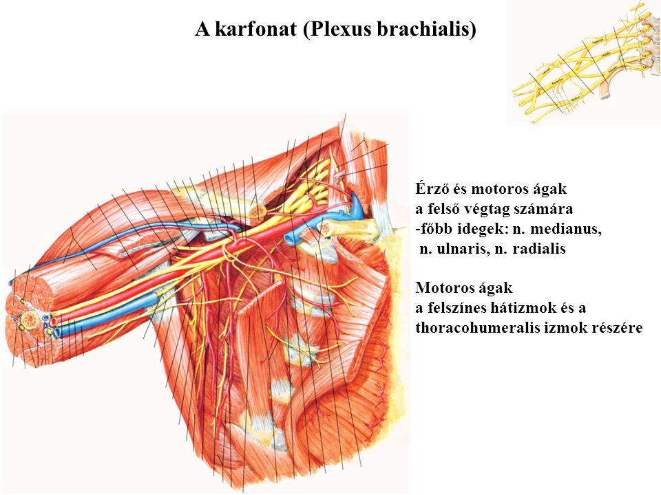 A nyakfonat (Plexus cervicalis) Érző ágak a nyak bőréhez és a fültájékhoz Motoros ágak a nyelvcsont alatti izmokhoz és a rekeszizomhoz