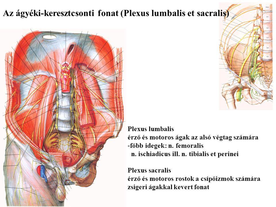 A karfonat (Plexus brachialis) Érző és motoros ágak a felső végtag számára -főbb idegek: n. medianus, n. ulnaris, n. radialis Motoros ágak a felszínes