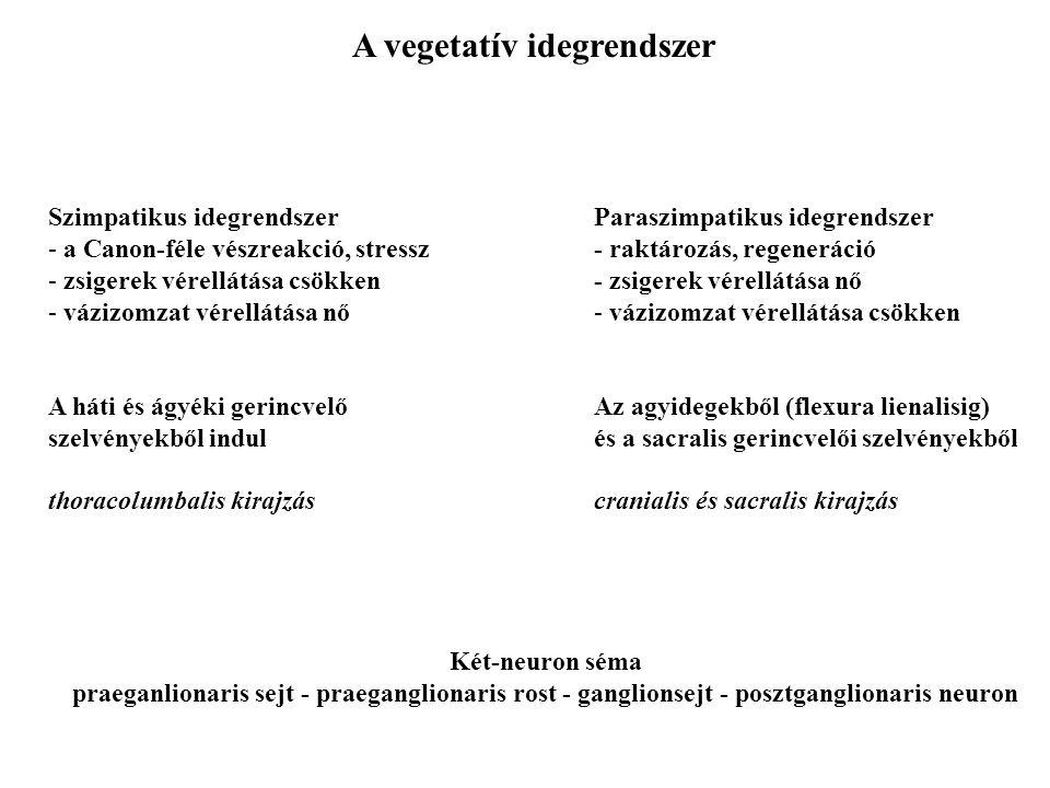 Az ágyéki-keresztcsonti fonat (Plexus lumbalis et sacralis) Plexus lumbalis érző és motoros ágak az alsó végtag számára -főbb idegek: n. femoralis n.