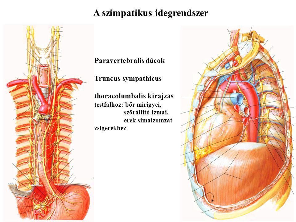 A vegetatív idegrendszer Szimpatikus idegrendszer - a Canon-féle vészreakció, stressz - zsigerek vérellátása csökken - vázizomzat vérellátása nő A háti és ágyéki gerincvelő szelvényekből indul thoracolumbalis kirajzás Paraszimpatikus idegrendszer - raktározás, regeneráció - zsigerek vérellátása nő - vázizomzat vérellátása csökken Az agyidegekből (flexura lienalisig) és a sacralis gerincvelői szelvényekből cranialis és sacralis kirajzás Két-neuron séma praeganlionaris sejt - praeganglionaris rost - ganglionsejt - posztganglionaris neuron