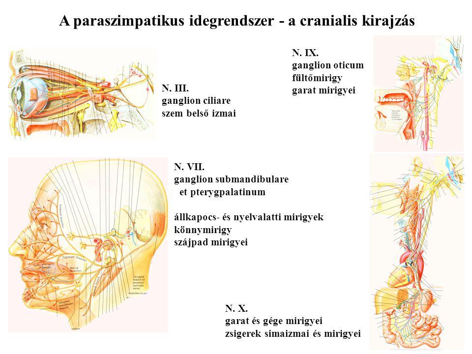 A szimpatikus idegrendszer a nagy ganglionok a nagy erek törzsénél találhatóak