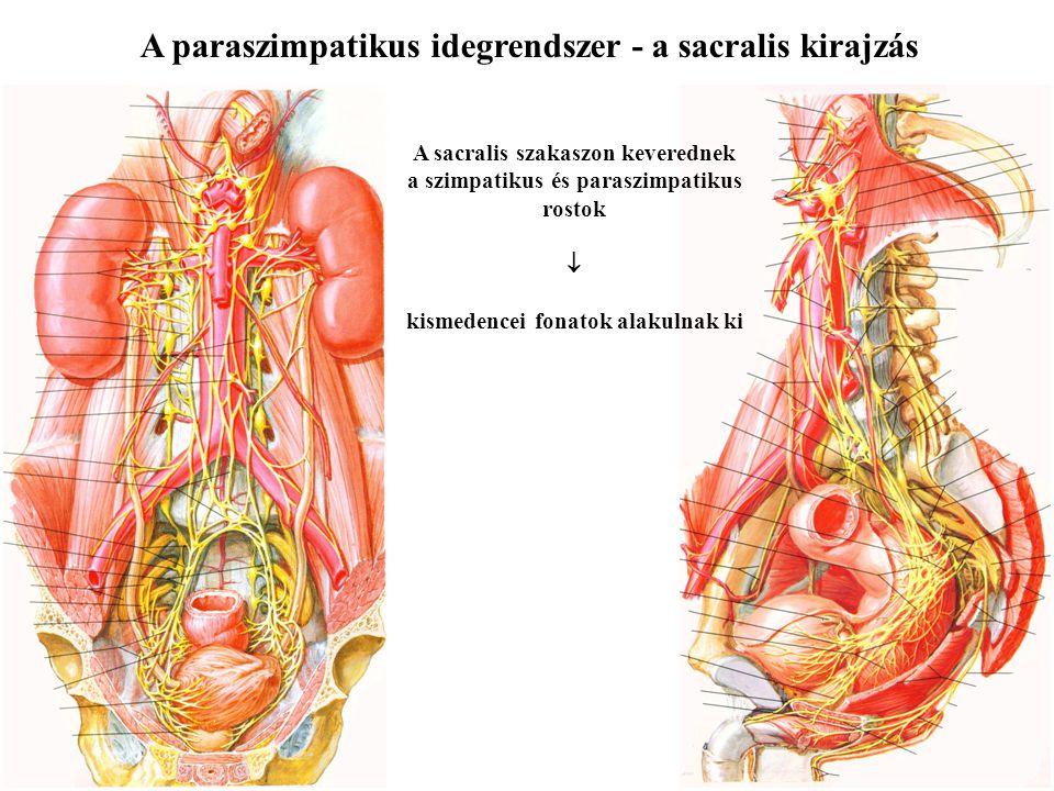 A paraszimpatikus idegrendszer - a cranialis kirajzás N. III. ganglion ciliare szem belső izmai N. VII. ganglion submandibulare et pterygpalatinum áll