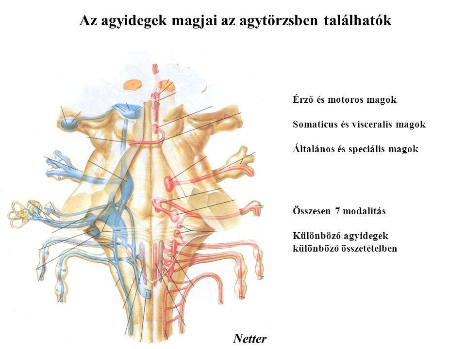 Az agyidegek I.N. ophtalmicus - szaglóideg II. N.