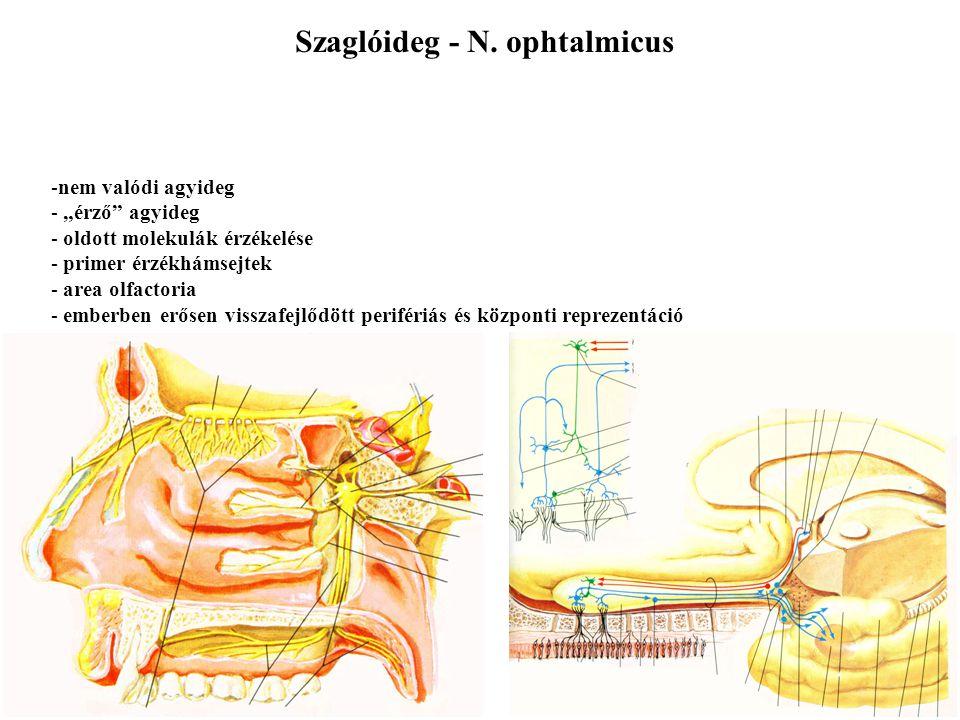 Az agyidegek magjai az agytörzsben találhatók Érző és motoros magok Somaticus és visceralis magok Általános és speciális magok Összesen 7 modalitás Különböző agyidegek különböző összetételben