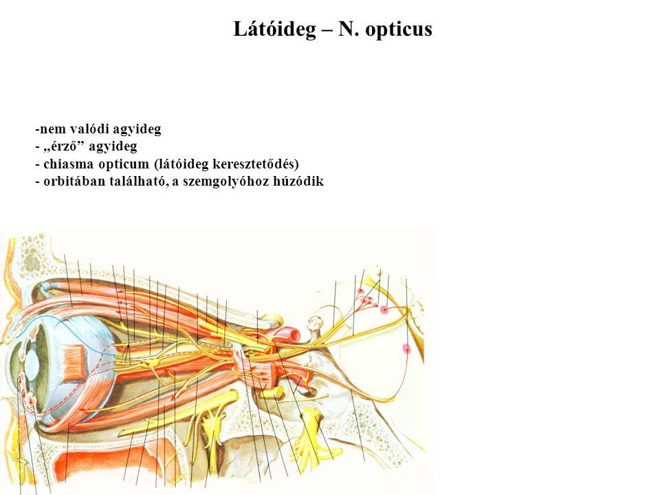 """Szaglóideg - N. ophtalmicus -nem valódi agyideg - """"érző"""" agyideg - oldott molekulák érzékelése - primer érzékhámsejtek - area olfactoria - emberben er"""