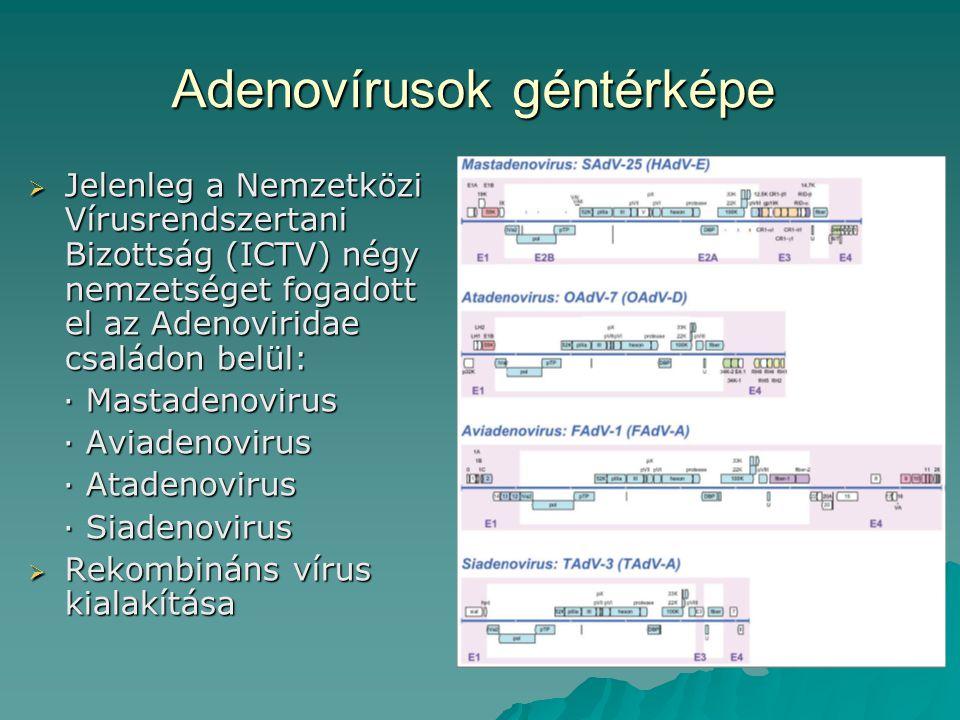 Adenovírusok géntérképe  Jelenleg a Nemzetközi Vírusrendszertani Bizottság (ICTV) négy nemzetséget fogadott el az Adenoviridae családon belül: · Mastadenovirus · Mastadenovirus · Aviadenovirus · Aviadenovirus · Atadenovirus · Atadenovirus · Siadenovirus · Siadenovirus  Rekombináns vírus kialakítása