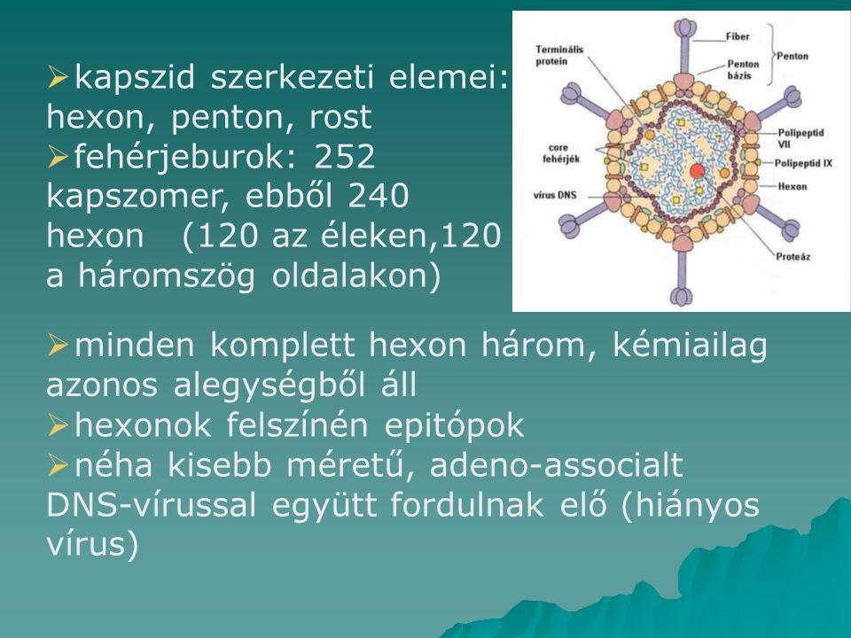  kapszid szerkezeti elemei: hexon, penton, rost  fehérjeburok: 252 kapszomer, ebből 240 hexon (120 az éleken,120 a háromszög oldalakon)  hexonok felszínén epitópok  néha kisebb méretű, adeno-associalt DNS-vírussal együtt fordulnak elő (hiányos vírus)  minden komplett hexon három, kémiailag azonos alegységből áll