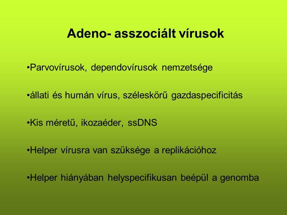 Adeno- asszociált vírusok Parvovírusok, dependovírusok nemzetsége állati és humán vírus, széleskörű gazdaspecificitás Kis méretű, ikozaéder, ssDNS Helper vírusra van szüksége a replikációhoz Helper hiányában helyspecifikusan beépül a genomba