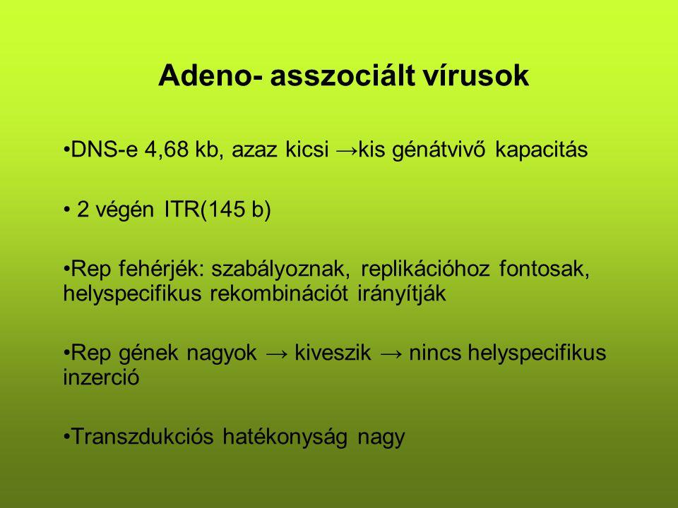 Adeno- asszociált vírusok DNS-e 4,68 kb, azaz kicsi →kis génátvivő kapacitás 2 végén ITR(145 b) Rep fehérjék: szabályoznak, replikációhoz fontosak, helyspecifikus rekombinációt irányítják Rep gének nagyok → kiveszik → nincs helyspecifikus inzerció Transzdukciós hatékonyság nagy