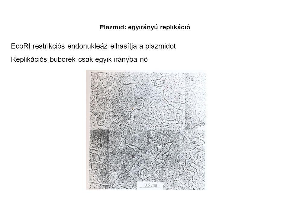 Plazmid: egyirányú replikáció EcoRI restrikciós endonukleáz elhasítja a plazmidot Replikációs buborék csak egyik irányba nő