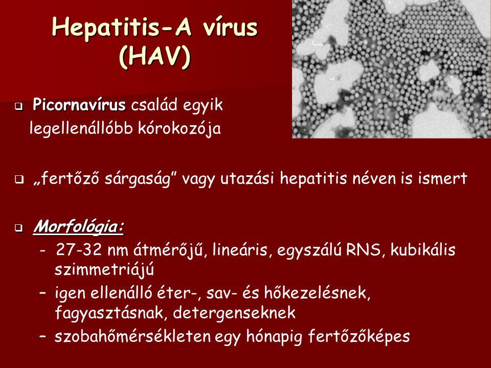 Hepatitis-A vírus (HAV)  Patogenezis: - enterális úton jut be, főleg zárt közösségekben alakulnak ki járványok – –fertőzés sohasem válik krónikussá  Klinikai kép: – – lappangási ideje 2-6 hét; a rendszerint hirtelen kezdődő tünetek a néhány napig tartó láz, elesettség, étvágytalanság, sárgaság (icterus) – –az elpusztult májsejtek regenerálódnak, a beteg teljesen meggyógyul (citopatogén vírus) – –hazánkban még főként a gyermekkor, tünetmentes vagy enyhe lefolyású, heveny betegsége  Diagnózis: – – diagnosztizálása ellenanyag kimutatáson alapszik – –a HAV szerológiai markerek (antigének és ellenanyagok) kimutatása a RIA és az ELISA technikákkal