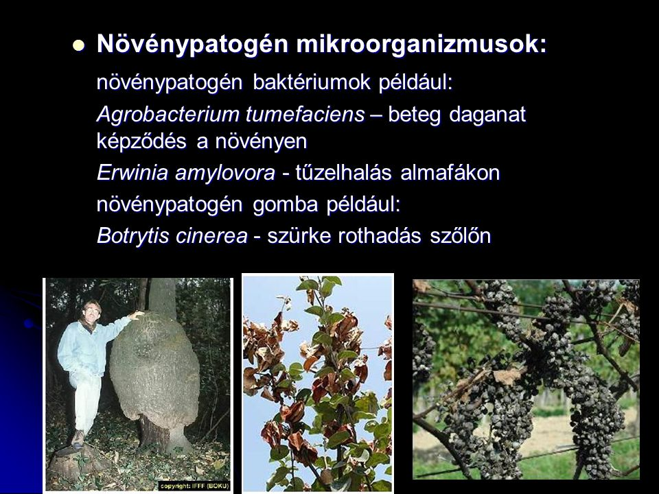 Növénypatogén mikroorganizmusok: Növénypatogén mikroorganizmusok: növénypatogén baktériumok például: Agrobacterium tumefaciens – beteg daganat képződé