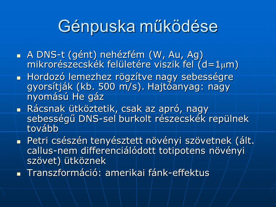 Génpuska működése A DNS-t (gént) nehézfém (W, Au, Ag) mikrorészecskék felületére viszik fel (d=1 μ m) A DNS-t (gént) nehézfém (W, Au, Ag) mikrorészecs
