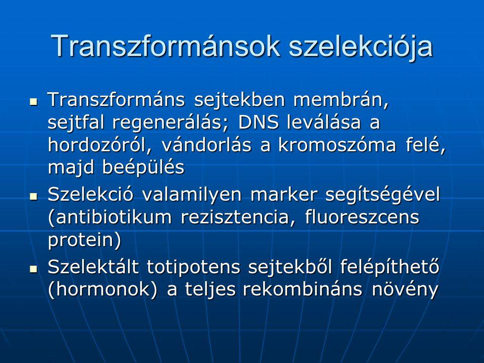 Transzformánsok szelekciója Transzformáns sejtekben membrán, sejtfal regenerálás; DNS leválása a hordozóról, vándorlás a kromoszóma felé, majd beépülé