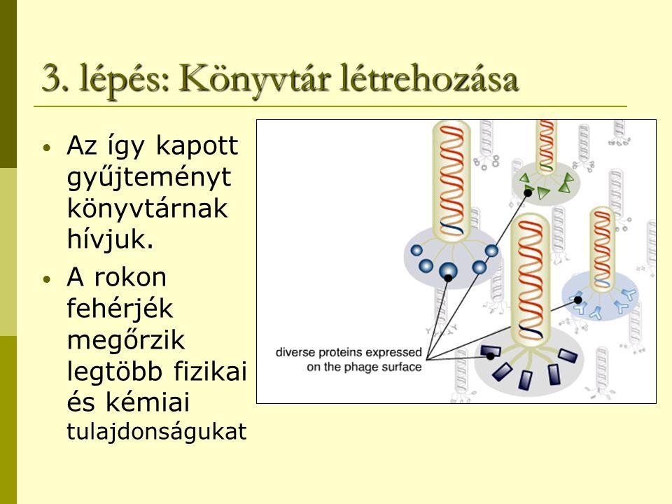 4. lépés: Target Exposure Az előzőleg immobilizált célmolekulához hozzáadjuk a fág könyvtárat.