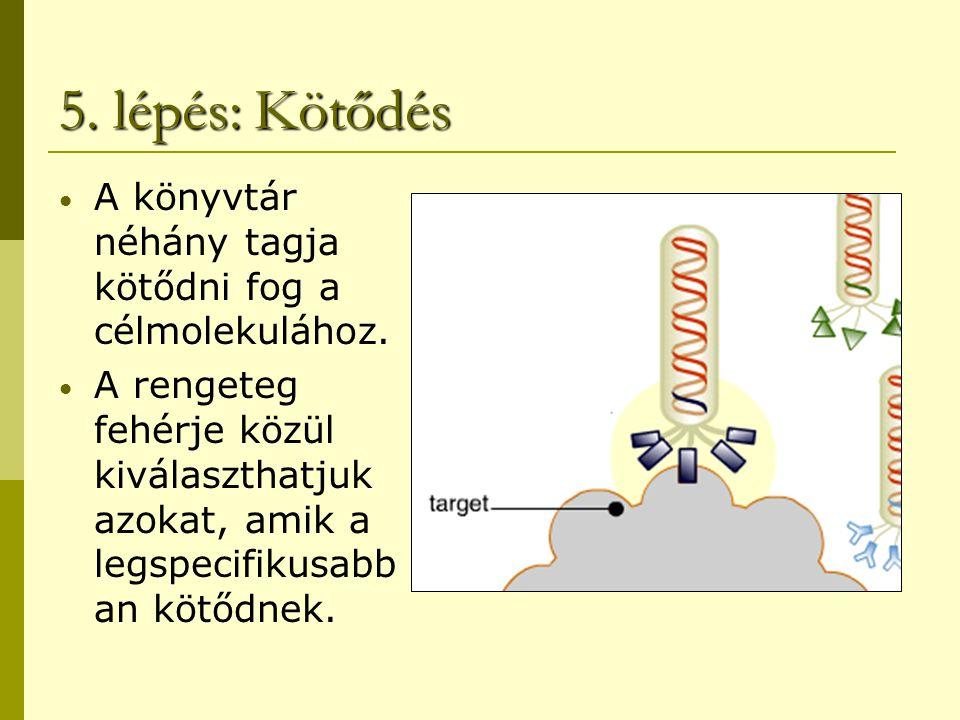 5. lépés: Kötődés A könyvtár néhány tagja kötődni fog a célmolekulához. A rengeteg fehérje közül kiválaszthatjuk azokat, amik a legspecifikusabb an kö