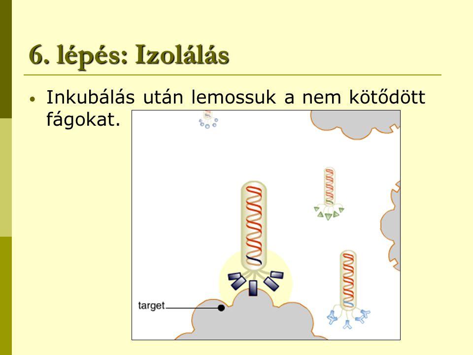6. lépés: Izolálás Inkubálás után lemossuk a nem kötődött fágokat.