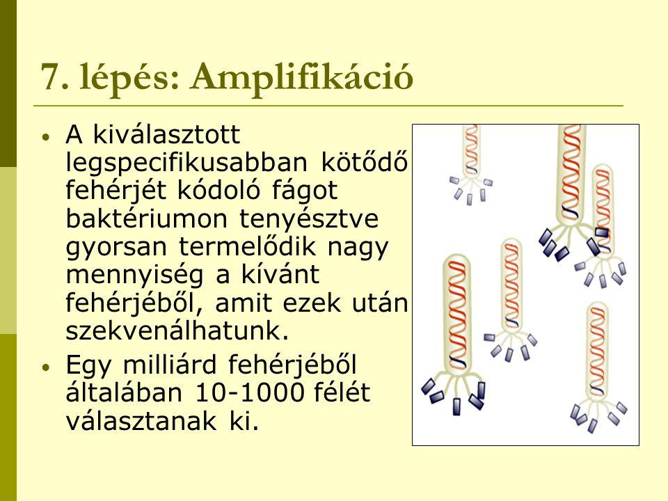 7. lépés: Amplifikáció A kiválasztott legspecifikusabban kötődő fehérjét kódoló fágot baktériumon tenyésztve gyorsan termelődik nagy mennyiség a kíván