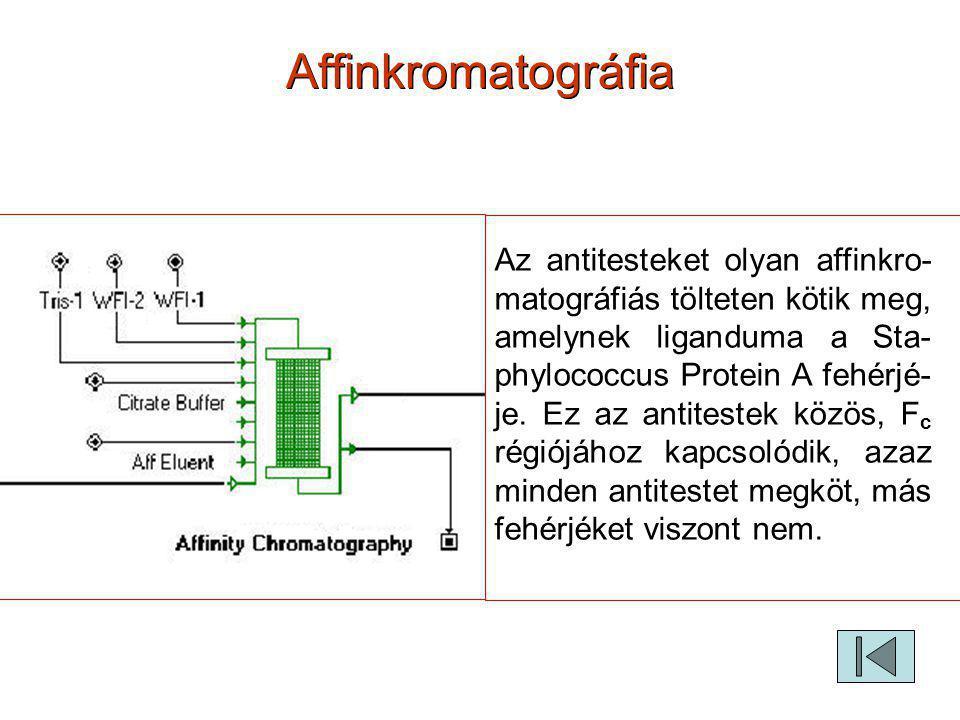 Affinkromatográfia Az antitesteket olyan affinkro- matográfiás tölteten kötik meg, amelynek liganduma a Sta- phylococcus Protein A fehérjé- je. Ez az