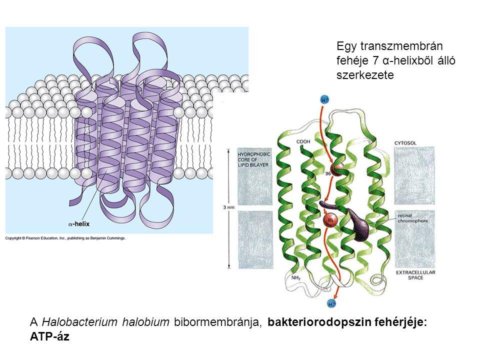 Egy transzmembrán fehéje 7 α-helixből álló szerkezete A Halobacterium halobium bibormembránja, bakteriorodopszin fehérjéje: ATP-áz