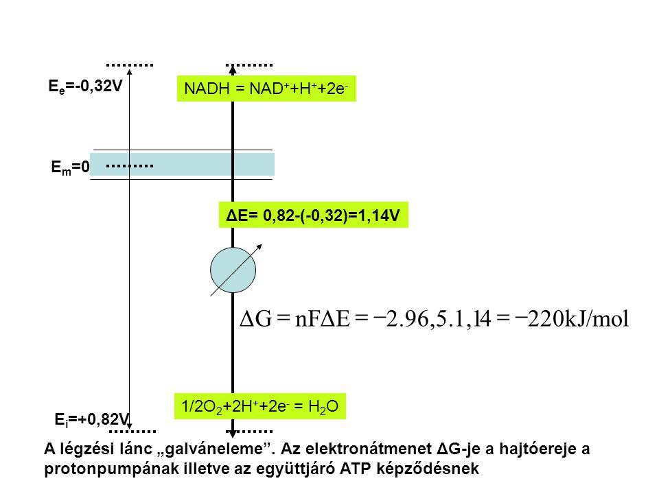 """E i =+0,82V E e =-0,32V E m =0 ΔE= 0,82-(-0,32)=1,14V 1/2O 2 +2H + +2e - = H 2 O NADH = NAD + +H + +2e - 220kJ/mol42.96,5.1,1nFΔEΔG  A légzési lánc """"galváneleme ."""