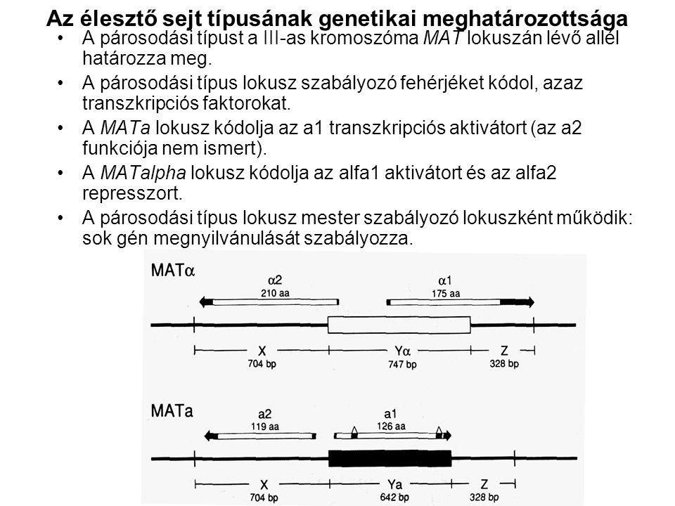 Az élesztő sejt típusának genetikai meghatározottsága A párosodási típust a III-as kromoszóma MAT lokuszán lévő allél határozza meg.