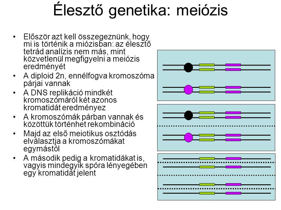 Először azt kell összegeznünk, hogy mi is történik a miózisban: az élesztő tetrád analízis nem más, mint közvetlenül megfigyelni a meiózis eredményét A diploid 2n, ennélfogva kromoszóma párjai vannak A DNS replikáció mindkét kromoszómáról két azonos kromatidát eredményez A kromoszómák párban vannak és közöttük történhet rekombináció Majd az első meiotikus osztódás elválasztja a kromoszómákat egymástól A második pedig a kromatidákat is, vagyis mindegyik spóra lényegében egy kromatidát jelent Élesztő genetika: meiózis