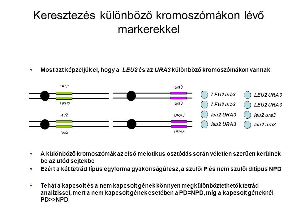 Keresztezés különböző kromoszómákon lévő markerekkel  Most azt képzeljük el, hogy a LEU2 és az URA3 különböző kromoszómákon vannak LEU2 leu2 LEU2 ura3 leu2 URA3  A különböző kromoszómák az első meiotikus osztódás során véletlen szerűen kerülnek be az utód sejtekbe  Ezért a két tetrád típus egyforma gyakoriságú lesz, a szülői P és nem szülői ditípus NPD  Tehát a kapcsolt és a nem kapcsolt gének könnyen megkülönböztethetők tetrád analízissel, mert a nem kapcsolt gének esetében a PD=NPD, míg a kapcsolt géneknél PD>>NPD ura3 URA3 LEU2 URA3 leu2 ura3