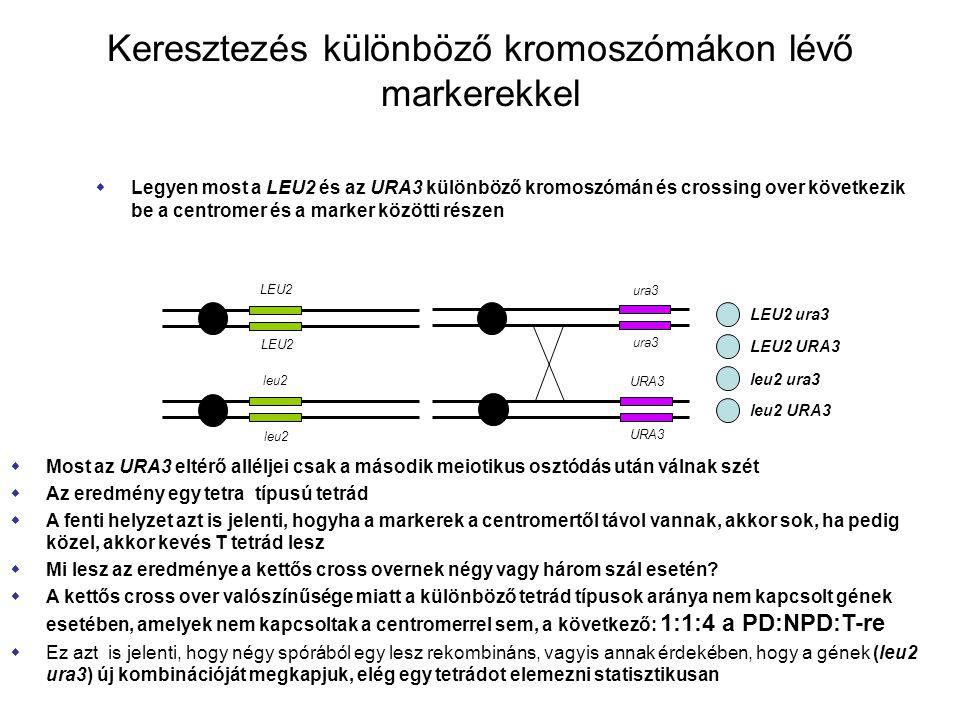 Keresztezés különböző kromoszómákon lévő markerekkel  Legyen most a LEU2 és az URA3 különböző kromoszómán és crossing over következik be a centromer és a marker közötti részen LEU2 leu2 LEU2 ura3 LEU2 URA3 leu2 ura3 leu2 URA3  Most az URA3 eltérő alléljei csak a második meiotikus osztódás után válnak szét  Az eredmény egy tetra típusú tetrád  A fenti helyzet azt is jelenti, hogyha a markerek a centromertől távol vannak, akkor sok, ha pedig közel, akkor kevés T tetrád lesz  Mi lesz az eredménye a kettős cross overnek négy vagy három szál esetén.