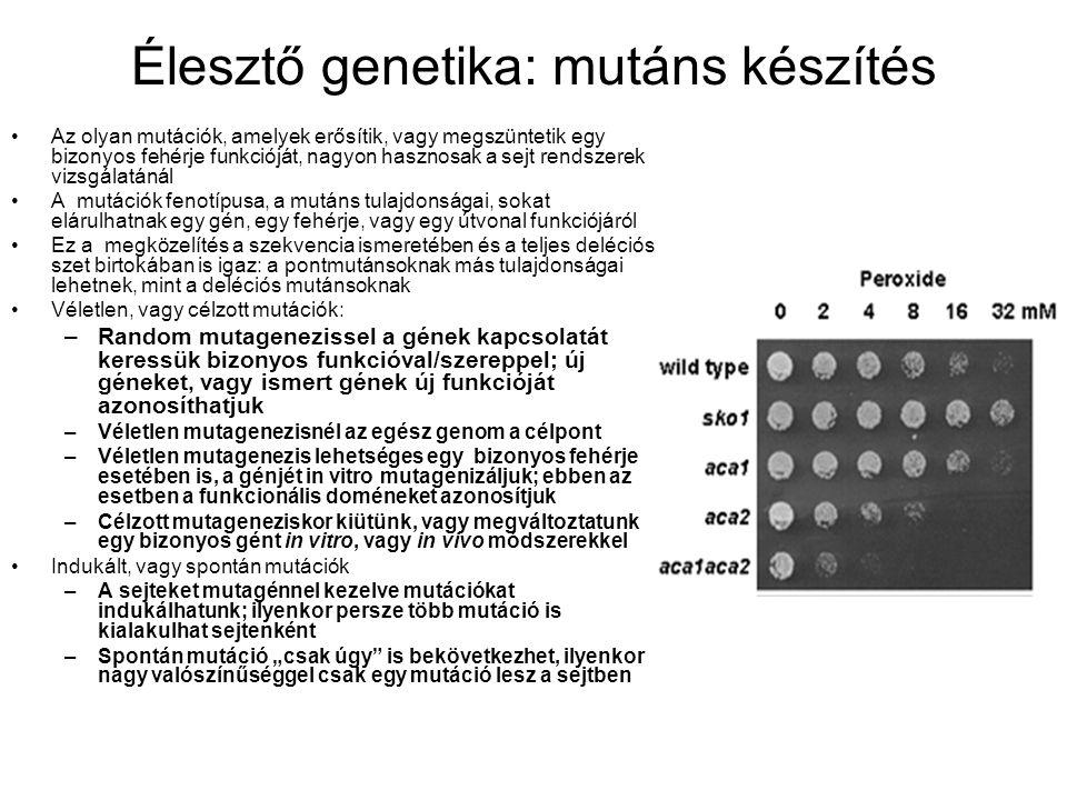 """Élesztő genetika: mutáns készítés Az olyan mutációk, amelyek erősítik, vagy megszüntetik egy bizonyos fehérje funkcióját, nagyon hasznosak a sejt rendszerek vizsgálatánál A mutációk fenotípusa, a mutáns tulajdonságai, sokat elárulhatnak egy gén, egy fehérje, vagy egy útvonal funkciójáról Ez a megközelítés a szekvencia ismeretében és a teljes deléciós szet birtokában is igaz: a pontmutánsoknak más tulajdonságai lehetnek, mint a deléciós mutánsoknak Véletlen, vagy célzott mutációk: –Random mutagenezissel a gének kapcsolatát keressük bizonyos funkcióval/szereppel; új géneket, vagy ismert gének új funkcióját azonosíthatjuk –Véletlen mutagenezisnél az egész genom a célpont –Véletlen mutagenezis lehetséges egy bizonyos fehérje esetében is, a génjét in vitro mutagenizáljuk; ebben az esetben a funkcionális doméneket azonosítjuk –Célzott mutageneziskor kiütünk, vagy megváltoztatunk egy bizonyos gént in vitro, vagy in vivo módszerekkel Indukált, vagy spontán mutációk –A sejteket mutagénnel kezelve mutációkat indukálhatunk; ilyenkor persze több mutáció is kialakulhat sejtenként –Spontán mutáció """"csak úgy is bekövetkezhet, ilyenkor nagy valószínűséggel csak egy mutáció lesz a sejtben"""