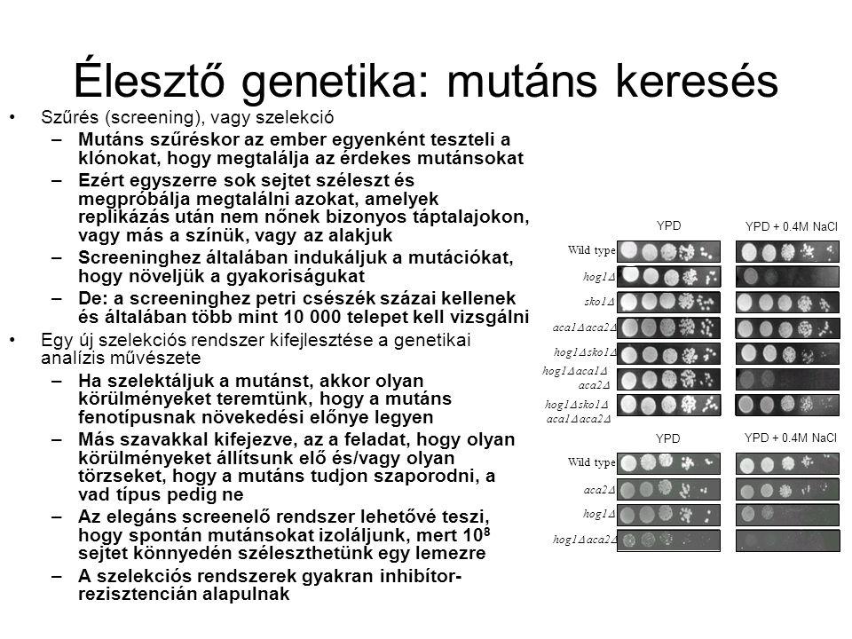 Élesztő genetika: mutáns keresés Szűrés (screening), vagy szelekció –Mutáns szűréskor az ember egyenként teszteli a klónokat, hogy megtalálja az érdekes mutánsokat –Ezért egyszerre sok sejtet széleszt és megpróbálja megtalálni azokat, amelyek replikázás után nem nőnek bizonyos táptalajokon, vagy más a színük, vagy az alakjuk –Screeninghez általában indukáljuk a mutációkat, hogy növeljük a gyakoriságukat –De: a screeninghez petri csészék százai kellenek és általában több mint 10 000 telepet kell vizsgálni Egy új szelekciós rendszer kifejlesztése a genetikai analízis művészete –Ha szelektáljuk a mutánst, akkor olyan körülményeket teremtünk, hogy a mutáns fenotípusnak növekedési előnye legyen –Más szavakkal kifejezve, az a feladat, hogy olyan körülményeket állítsunk elő és/vagy olyan törzseket, hogy a mutáns tudjon szaporodni, a vad típus pedig ne –Az elegáns screenelő rendszer lehetővé teszi, hogy spontán mutánsokat izoláljunk, mert 10 8 sejtet könnyedén széleszthetünk egy lemezre –A szelekciós rendszerek gyakran inhibítor- rezisztencián alapulnak Wild type hog1  sko1  aca1  aca2  hog1  aca1  aca2  hog1  sko1  aca1  aca2  YPD YPD + 0.4M NaCl Wild type aca2  hog1  hog1  aca2  YPD YPD + 0.4M NaCl