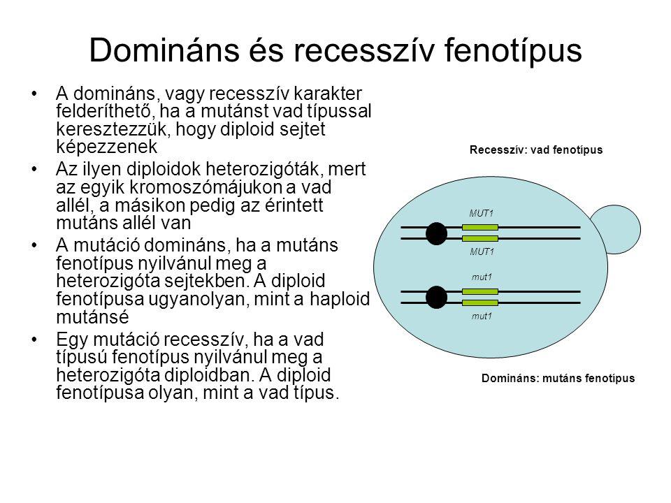 Domináns és recesszív fenotípus MUT1 mut1 Domináns: mutáns fenotípus Recesszív: vad fenotípus A domináns, vagy recesszív karakter felderíthető, ha a mutánst vad típussal keresztezzük, hogy diploid sejtet képezzenek Az ilyen diploidok heterozigóták, mert az egyik kromoszómájukon a vad allél, a másikon pedig az érintett mutáns allél van A mutáció domináns, ha a mutáns fenotípus nyilvánul meg a heterozigóta sejtekben.