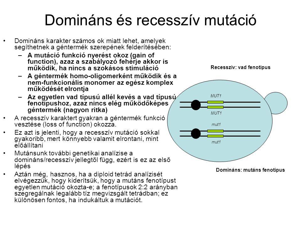 Domináns és recesszív mutáció MUT1 mut1 Domináns: mutáns fenotípus Recesszív: vad fenotípus Domináns karakter számos ok miatt lehet, amelyek segíthetnek a géntermék szerepének felderítésében: –A mutáció funkció nyerést okoz (gain of function), azaz a szabályozó fehérje akkor is működik, ha nincs a szokásos stimuláció –A géntermék homo-oligomerként működik és a nem-funkcionális monomer az egész komplex működését elrontja –Az egyetlen vad típusú allél kevés a vad típusú fenotípushoz, azaz nincs elég működőképes géntermék (nagyon ritka) A recesszív karaktert gyakran a géntermék funkció vesztése (loss of function) okozza.