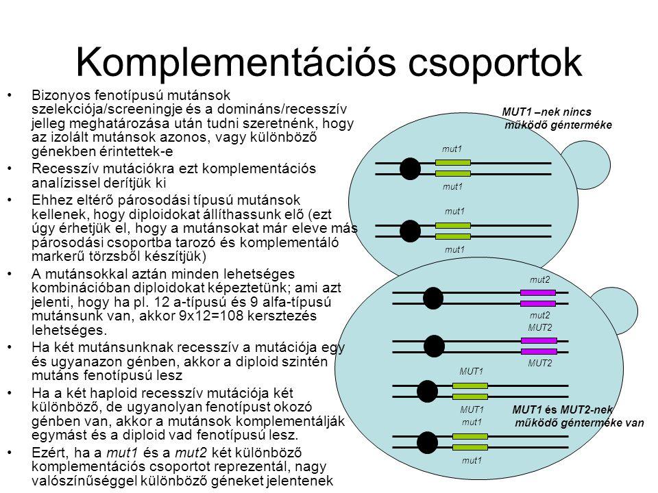 Komplementációs csoportok mut1 MUT1 mut1 mut2 MUT2 Bizonyos fenotípusú mutánsok szelekciója/screeningje és a domináns/recesszív jelleg meghatározása után tudni szeretnénk, hogy az izolált mutánsok azonos, vagy különböző génekben érintettek-e Recesszív mutációkra ezt komplementációs analízissel derítjük ki Ehhez eltérő párosodási típusú mutánsok kellenek, hogy diploidokat állíthassunk elő (ezt úgy érhetjük el, hogy a mutánsokat már eleve más párosodási csoportba tarozó és komplementáló markerű törzsből készítjük) A mutánsokkal aztán minden lehetséges kombinációban diploidokat képeztetünk; ami azt jelenti, hogy ha pl.