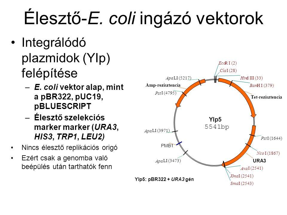 Élesztő-E.coli ingázó vektorok Integrálódó plazmidok (YIp) felépítése –E.