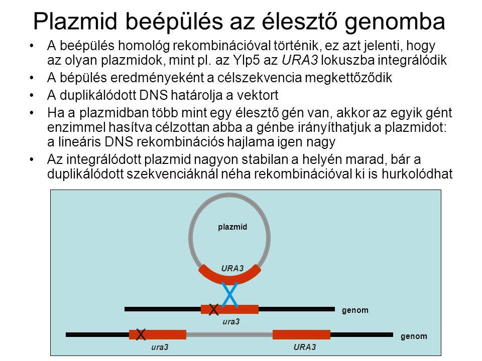 Plazmid beépülés az élesztő genomba A beépülés homológ rekombinációval történik, ez azt jelenti, hogy az olyan plazmidok, mint pl.