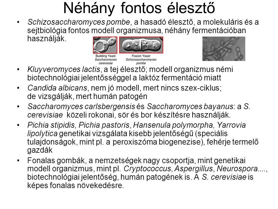 Néhány fontos élesztő Schizosaccharomyces pombe, a hasadó élesztő, a molekuláris és a sejtbiológia fontos modell organizmusa, néhány fermentációban használják.