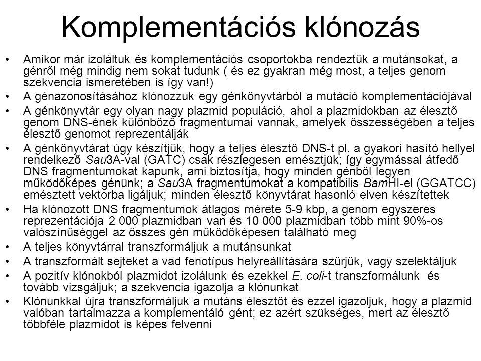 Komplementációs klónozás Amikor már izoláltuk és komplementációs csoportokba rendeztük a mutánsokat, a génről még mindig nem sokat tudunk ( és ez gyakran még most, a teljes genom szekvencia ismeretében is így van!) A génazonosításához klónozzuk egy génkönyvtárból a mutáció komplementációjával A génkönyvtár egy olyan nagy plazmid populáció, ahol a plazmidokban az élesztő genom DNS-ének különböző fragmentumai vannak, amelyek összességében a teljes élesztő genomot reprezentálják A génkönyvtárat úgy készítjük, hogy a teljes élesztő DNS-t pl.