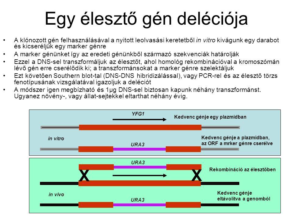 Egy élesztő gén deléciója A klónozott gén felhasználásával a nyitott leolvasási keretetből in vitro kivágunk egy darabot és kicseréljük egy marker génre A marker génünket így az eredeti génünkből származó szekvenciák határolják Ezzel a DNS-sel transzformáljuk az élesztőt, ahol homológ rekombinációval a kromoszómán lévő gén erre cserélődik ki; a transzformánsokat a marker génre szelektáljuk Ezt követően Southern blot-tal (DNS-DNS hibridizálással), vagy PCR-rel és az élesztő törzs fenotípusának vizsgálatával igazoljuk a deléciót A módszer igen megbízható és 1µg DNS-sel biztosan kapunk néhány transzformánst.