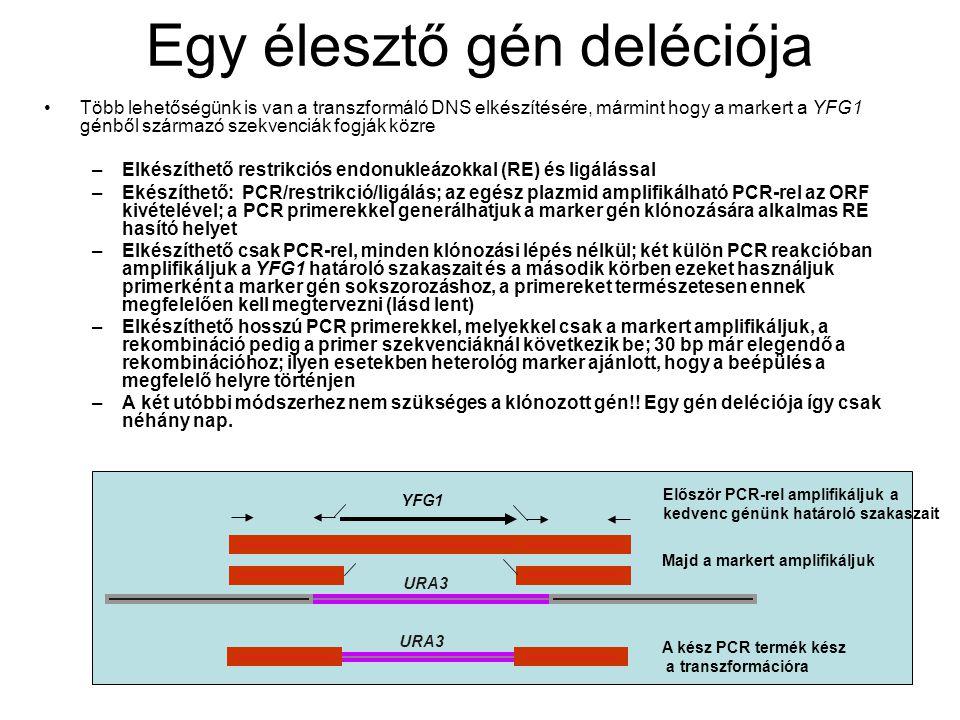 Egy élesztő gén deléciója Több lehetőségünk is van a transzformáló DNS elkészítésére, mármint hogy a markert a YFG1 génből származó szekvenciák fogják közre –Elkészíthető restrikciós endonukleázokkal (RE) és ligálással –Ekészíthető: PCR/restrikció/ligálás; az egész plazmid amplifikálható PCR-rel az ORF kivételével; a PCR primerekkel generálhatjuk a marker gén klónozására alkalmas RE hasító helyet –Elkészíthető csak PCR-rel, minden klónozási lépés nélkül; két külön PCR reakcióban amplifikáljuk a YFG1 határoló szakaszait és a második körben ezeket használjuk primerként a marker gén sokszorozáshoz, a primereket természetesen ennek megfelelően kell megtervezni (lásd lent) –Elkészíthető hosszú PCR primerekkel, melyekkel csak a markert amplifikáljuk, a rekombináció pedig a primer szekvenciáknál következik be; 30 bp már elegendő a rekombinációhoz; ilyen esetekben heterológ marker ajánlott, hogy a beépülés a megfelelő helyre történjen –A két utóbbi módszerhez nem szükséges a klónozott gén!.