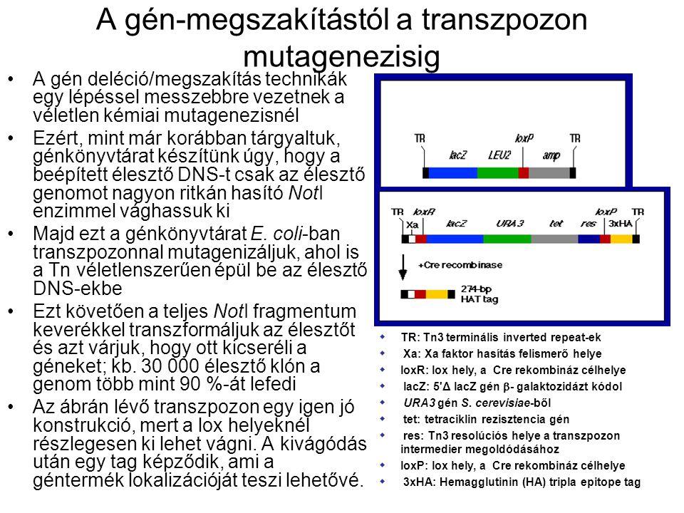 A gén-megszakítástól a transzpozon mutagenezisig A gén deléció/megszakítás technikák egy lépéssel messzebbre vezetnek a véletlen kémiai mutagenezisnél Ezért, mint már korábban tárgyaltuk, génkönyvtárat készítünk úgy, hogy a beépített élesztő DNS-t csak az élesztő genomot nagyon ritkán hasító NotI enzimmel vághassuk ki Majd ezt a génkönyvtárat E.