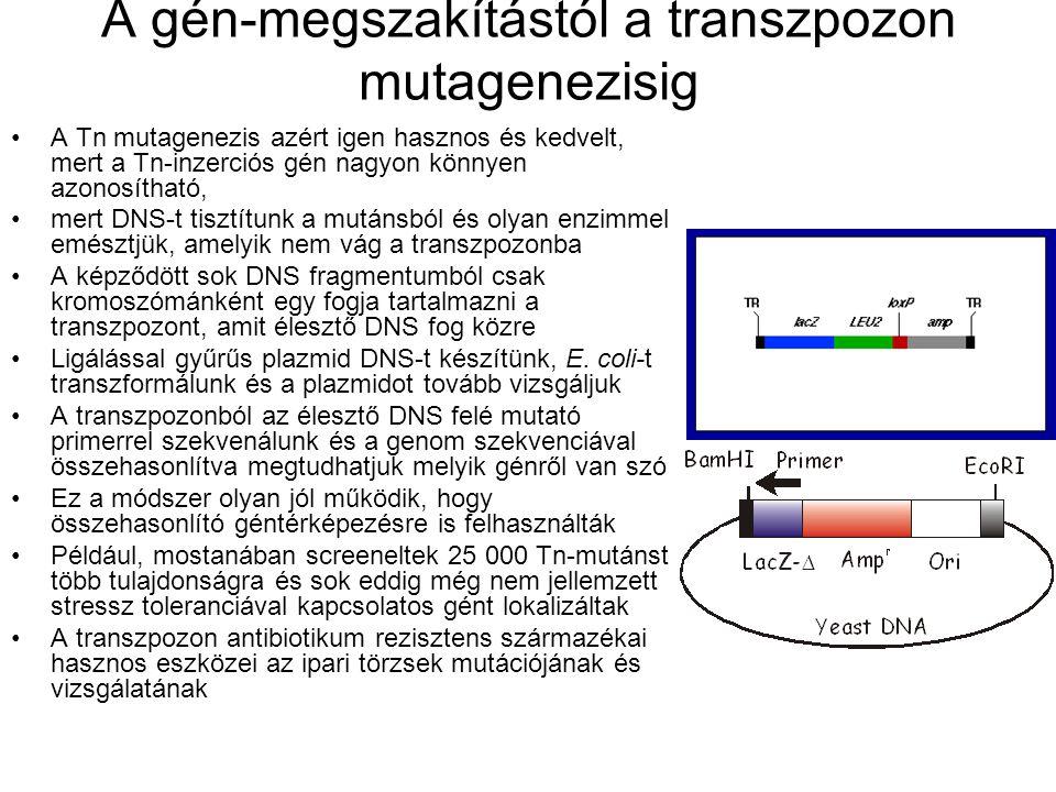 A gén-megszakítástól a transzpozon mutagenezisig A Tn mutagenezis azért igen hasznos és kedvelt, mert a Tn-inzerciós gén nagyon könnyen azonosítható, mert DNS-t tisztítunk a mutánsból és olyan enzimmel emésztjük, amelyik nem vág a transzpozonba A képződött sok DNS fragmentumból csak kromoszómánként egy fogja tartalmazni a transzpozont, amit élesztő DNS fog közre Ligálással gyűrűs plazmid DNS-t készítünk, E.