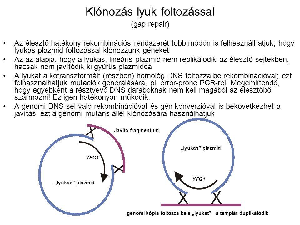 Klónozás lyuk foltozással (gap repair) Az élesztő hatékony rekombinációs rendszerét több módon is felhasználhatjuk, hogy lyukas plazmid foltozással klónozzunk géneket Az az alapja, hogy a lyukas, lineáris plazmid nem replikálodik az élesztő sejtekben, hacsak nem javítódik ki gyűrűs plazmiddá A lyukat a kotranszformált (részben) homológ DNS foltozza be rekombinációval; ezt felhasználhatjuk mutációk generálására, pl.