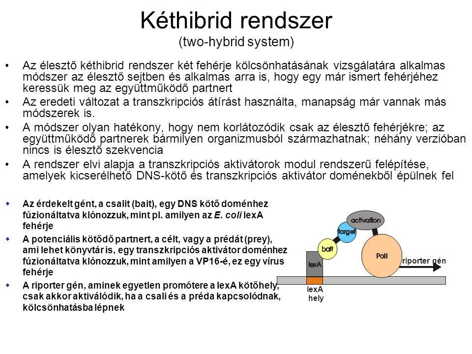 Kéthibrid rendszer (two-hybrid system) Az élesztő kéthibrid rendszer két fehérje kölcsönhatásának vizsgálatára alkalmas módszer az élesztő sejtben és alkalmas arra is, hogy egy már ismert fehérjéhez keressük meg az együttműködő partnert Az eredeti változat a transzkripciós átírást használta, manapság már vannak más módszerek is.