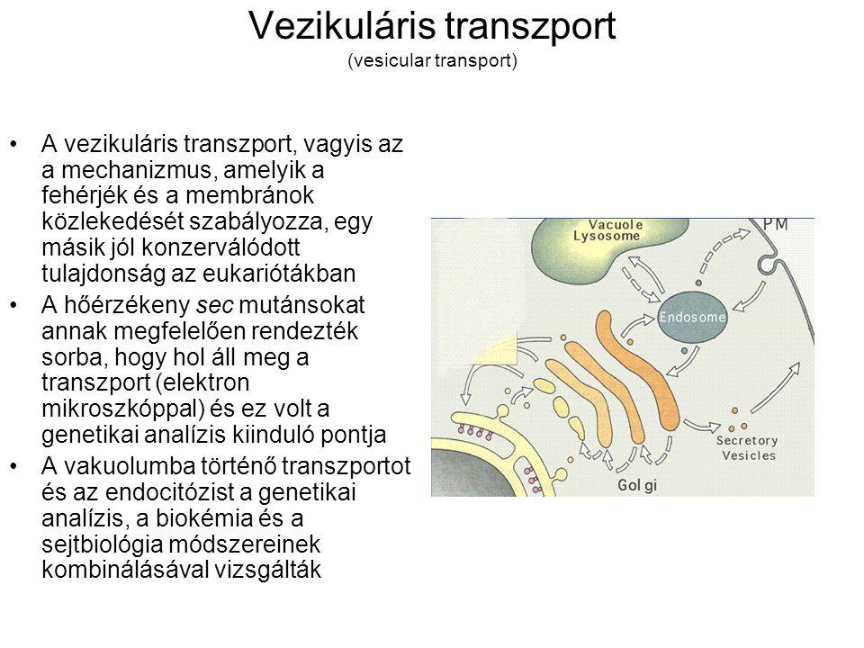 Vezikuláris transzport (vesicular transport) A vezikuláris transzport, vagyis az a mechanizmus, amelyik a fehérjék és a membránok közlekedését szabályozza, egy másik jól konzerválódott tulajdonság az eukariótákban A hőérzékeny sec mutánsokat annak megfelelően rendezték sorba, hogy hol áll meg a transzport (elektron mikroszkóppal) és ez volt a genetikai analízis kiinduló pontja A vakuolumba történő transzportot és az endocitózist a genetikai analízis, a biokémia és a sejtbiológia módszereinek kombinálásával vizsgálták