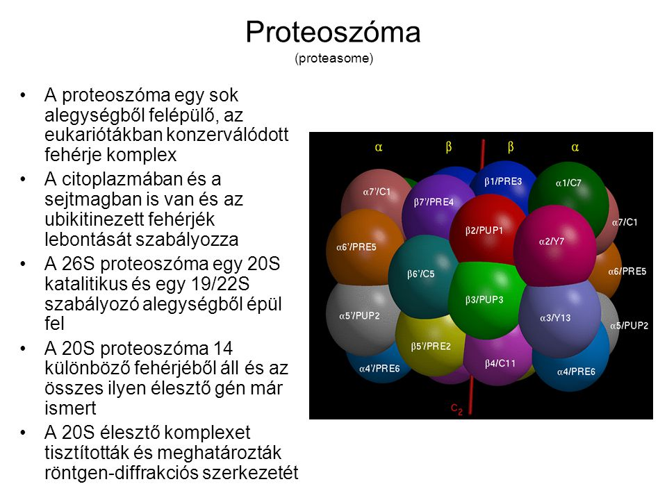 Proteoszóma (proteasome) A proteoszóma egy sok alegységből felépülő, az eukariótákban konzerválódott fehérje komplex A citoplazmában és a sejtmagban is van és az ubikitinezett fehérjék lebontását szabályozza A 26S proteoszóma egy 20S katalitikus és egy 19/22S szabályozó alegységből épül fel A 20S proteoszóma 14 különböző fehérjéből áll és az összes ilyen élesztő gén már ismert A 20S élesztő komplexet tisztították és meghatározták röntgen-diffrakciós szerkezetét