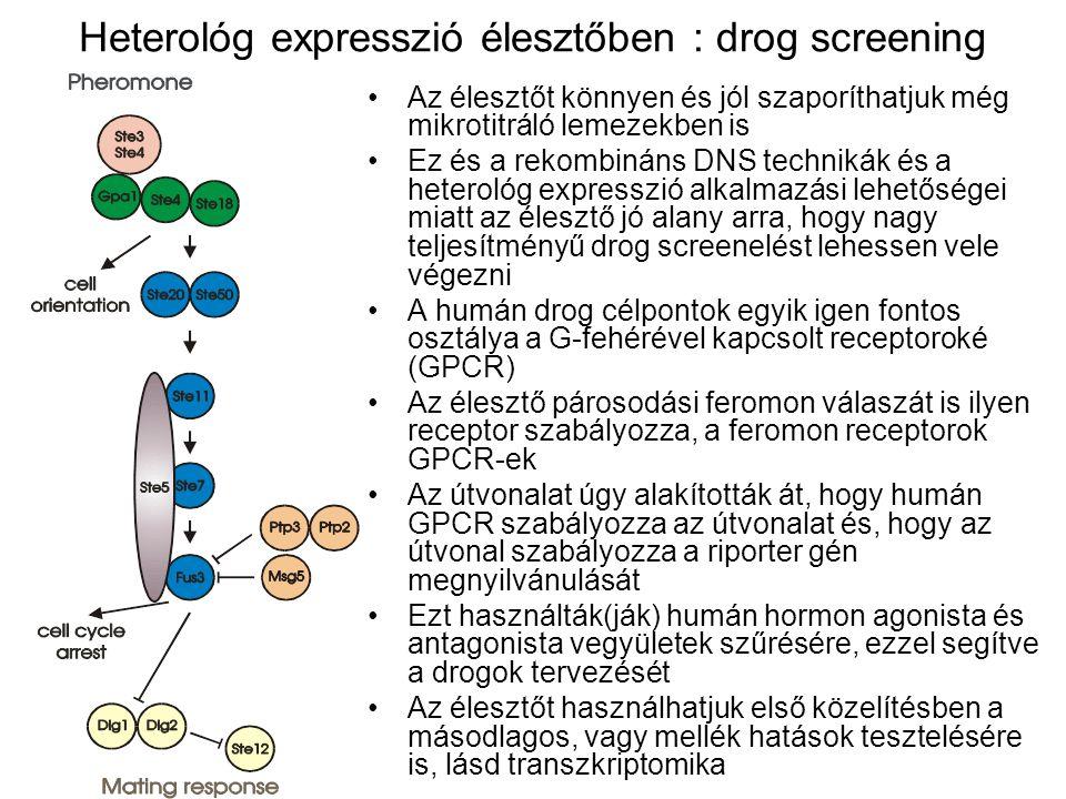 Heterológ expresszió élesztőben : drog screening Az élesztőt könnyen és jól szaporíthatjuk még mikrotitráló lemezekben is Ez és a rekombináns DNS technikák és a heterológ expresszió alkalmazási lehetőségei miatt az élesztő jó alany arra, hogy nagy teljesítményű drog screenelést lehessen vele végezni A humán drog célpontok egyik igen fontos osztálya a G-fehérével kapcsolt receptoroké (GPCR) Az élesztő párosodási feromon válaszát is ilyen receptor szabályozza, a feromon receptorok GPCR-ek Az útvonalat úgy alakították át, hogy humán GPCR szabályozza az útvonalat és, hogy az útvonal szabályozza a riporter gén megnyilvánulását Ezt használták(ják) humán hormon agonista és antagonista vegyületek szűrésére, ezzel segítve a drogok tervezését Az élesztőt használhatjuk első közelítésben a másodlagos, vagy mellék hatások tesztelésére is, lásd transzkriptomika