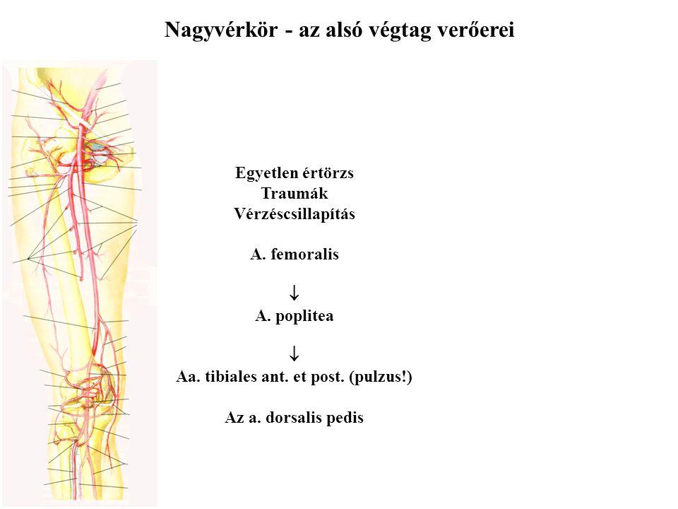 Nagyvérkör - az alsó végtag verőerei Egyetlen értörzs Traumák Vérzéscsillapítás A. femoralis  A. poplitea  Aa. tibiales ant. et post. (pulzus!) Az a