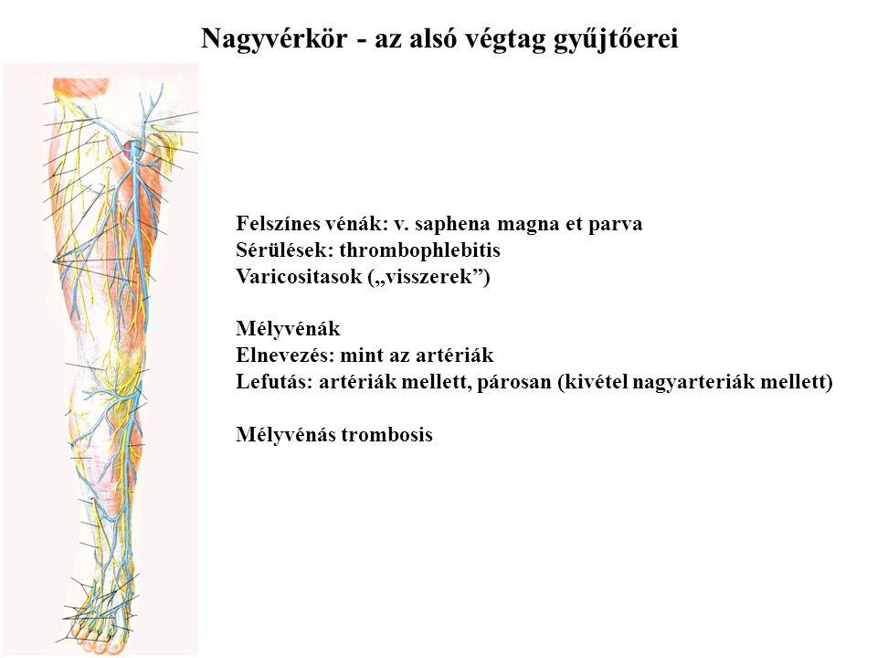 """Nagyvérkör - az alsó végtag gyűjtőerei Felszínes vénák: v. saphena magna et parva Sérülések: thrombophlebitis Varicositasok (""""visszerek"""") Mélyvénák El"""