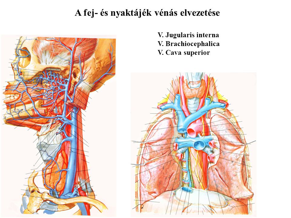 A fej- és nyaktájék vénás elvezetése V. Jugularis interna V. Brachiocephalica V. Cava superior